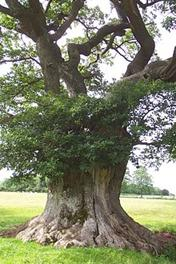 An ancient pollarded oak tree near Michaelchurch Court